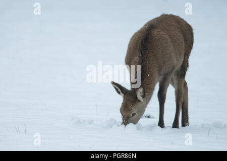 Red deer calf search feed in the snow, winter, germany, (cervus elaphus) - Stock Photo