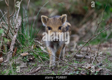 Wild boar piglet in the forest, spring, germany, (sus scrofa) - Stock Photo