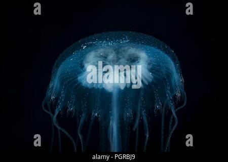 Common Jellyfish, Aurelia, portrait on black background, taken deep sea in Egypt - Stock Photo