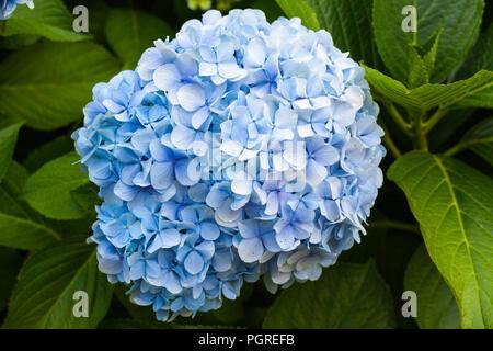 Blue hydrangea flower blossoming - Stock Photo