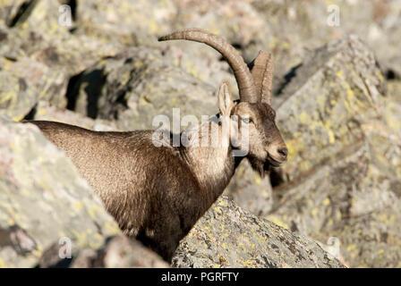 Iberian ibex, Capra pyrenaica, Iberian Ibex, Spain, on top of the rock - Stock Photo