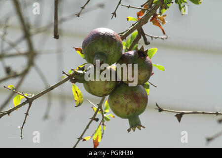 Pomegranates growing on the branch - Stock Photo