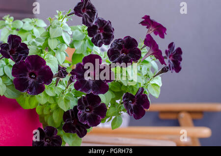Blooming dark petunia flower with green leaves on the balcony. Dark purple velvet Petunia Floral pattern - Stock Photo