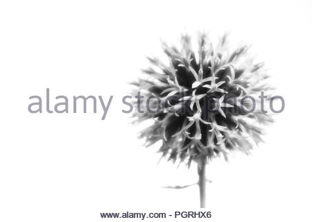 globe thistle on white background in black and white - Stock Photo