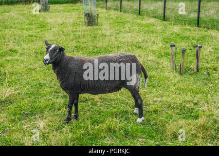 black sheep in the grass fields close up - Stock Photo