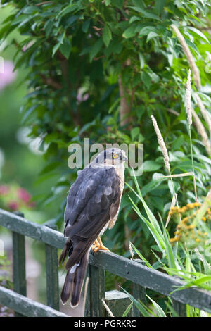 Eurasian, Sparrowhawk (Accipiter nisus) Perched on a Fence in a Garden Environment, England, UK. - Stock Photo