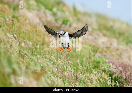 Puffin, Fratercula arctica, Mingulay, Bishop's Isles, Outer Hebrides, Scotland, UK - Stock Photo