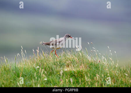 Common redshank, Tringa totanus, UK - Stock Photo