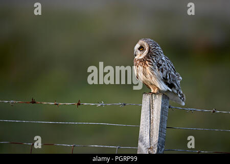 Short-eared owl, Aseo flammeius, UK - Stock Photo