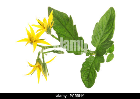 yellow flower tomato isolated on whtie background. - Stock Photo