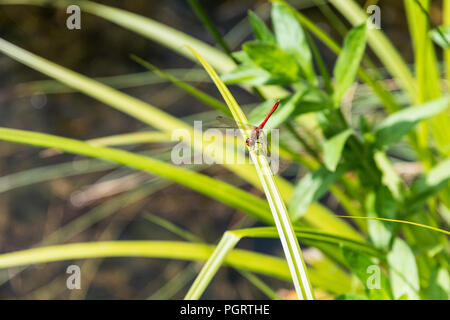 A male ruddy darter dragonfly (Sympetrum sanguineum) perching on a leaf - Stock Photo