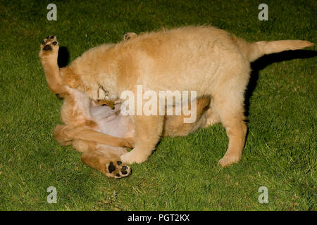 Two puppies (brother and sister) come together for rough and tumble play fight - Stock Photo