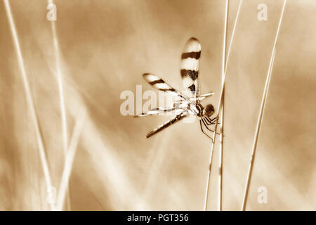 Dragonfly perched on wild grasses in sepia tones - Stock Photo