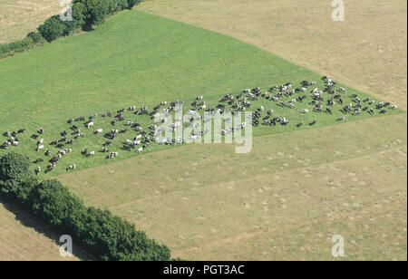 Aerial view of fields in Cornwall with a herd of cows grazing. - Stock Photo