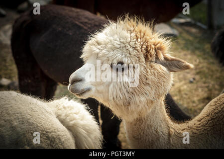 A white alpaca in with the other alpacas in Coeur d'Alene, Idaho. - Stock Photo