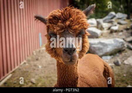 A portrait of a cute reddish brown alpaca in Coeur d'Alene, Idaho. - Stock Photo
