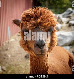 A portrait of a cute reddish brown alpaca in Coeur d'Alene, Idaho. - Stock Photo