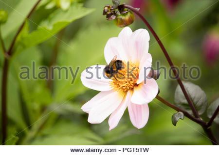 British Summer Garden after rain - a bee settles on a pink-white Dahlia gathering nectar. - Stock Photo