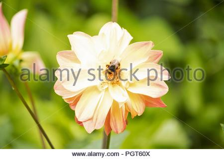 British Summer Garden after rain - a bee settles on a pastel pink tinged Dahlia drinking nectar. - Stock Photo