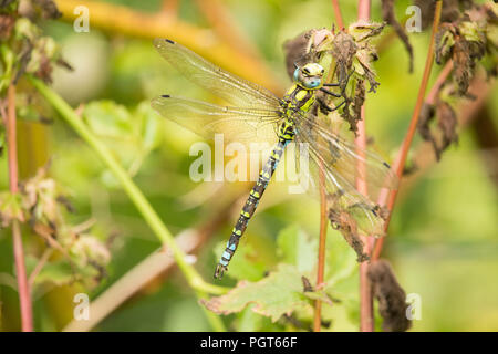 Natural World - Fascinating insect predators. A single dragonfly settling   on garden foliage. - Stock Photo