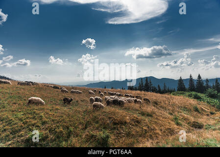a flock of sheep grazing on a meadow in the Carpathian Mountains - Stock Photo