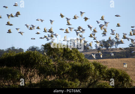 Little corellas (Cacatua sanguinea) in-flight, outback Western Australia. - Stock Photo