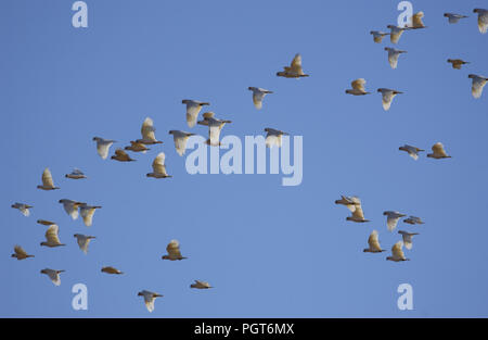 Little Corellas (Cacatua sanguinea) inflight, outback Western Australia. - Stock Photo