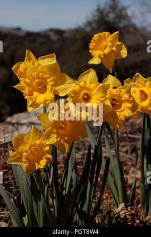 Close up of group of bright yellow spring Easter daffodils blooming outside in springtime, vertical format - Stock Photo