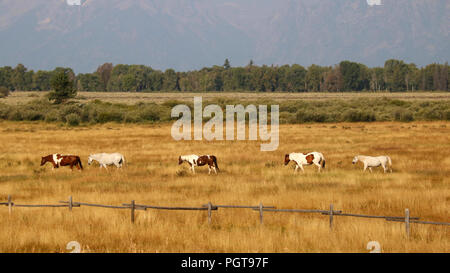 Ranch Horses walking in the valley at Jackson Hole, Grand Teton National Park - Stock Photo