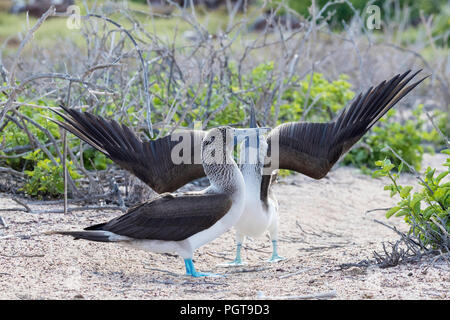 Blue-footed booby, Sula nebouxii, pair in courtship display on North Seymour Island, Galápagos, Ecuador. - Stock Photo
