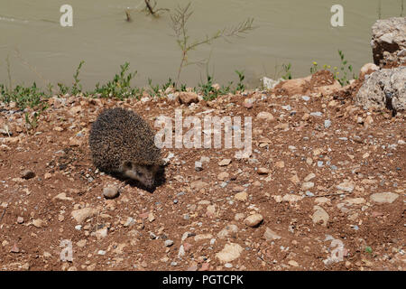 The southern white-breasted hedgehog (Erinaceus concolor) is walking and blurred river in background - Stock Photo