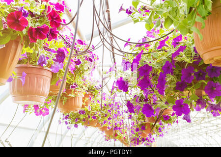 flowering fuchsia in pots, watering in a greenhouse, production and cultivation of flowers - Stock Photo