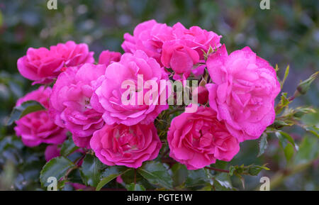 rose grade heidetraum,  semi-double, cup-shaped flowers of dense pink color, rose of deep pink color, - Stock Photo