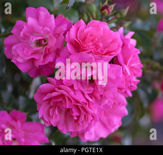 rose grade heidetraum,  semi-double, cup-shaped flowers of dense pink color, rose of deep pink color, one branch with seven flowers in full bloom - Stock Photo