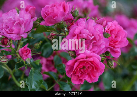 grade heidetraum bush of flowering pink roses in the number of five pieces with several buds, growing in the garden, summer day, close-up - Stock Photo