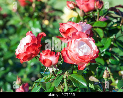 rose nostalgie a bunch of tender white and red flowers, a red border at the tips of the petals, the plant grows in the garden, daylight, summer day, - Stock Photo