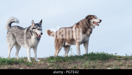 two adult dogs Alaskan Malamute and Siberian husky go against the blue sky, the ground and grass under the paw, fluffy dogs - Stock Photo