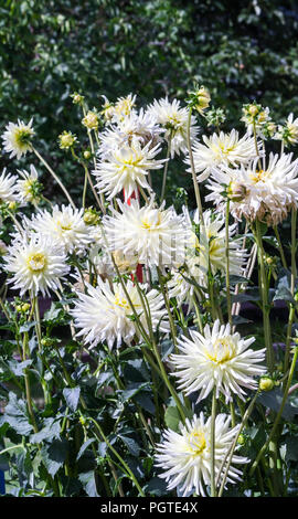 asteraceae dahlia cultorum grade shooting stars white with yellow core large flowers asters in bloom and buds against the background of green foliage - Stock Photo