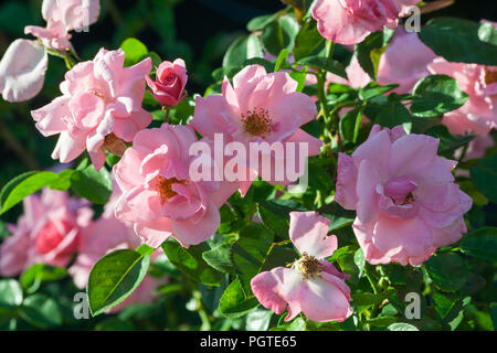 rose grade armada, bush of roses with lots of large pink flowers, lit by sunlight on a summer day, in background a dark green foliage, some flowers - Stock Photo