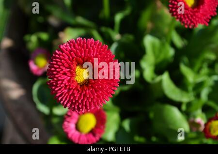 Red and pink English daisies in a garden in spring - Stock Photo
