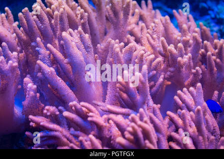 coral Sinularia brassica, Cabbage Leather, Flower Leather - Stock Photo