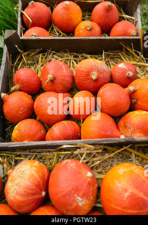 Harvest red kuri pumpkins on hay in crates - Stock Photo
