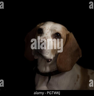 white and tan medium sized cross breed  dog looking to the left with black background - Stock Photo