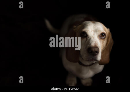 white and tan dog with big brown eyes  looking up straight to camera with black back ground - Stock Photo