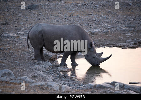 Rhino drinking water at sunset in Namibia - Stock Photo