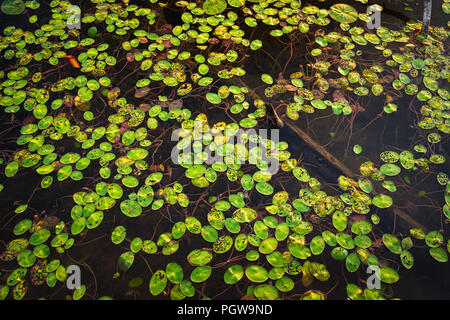 Lush green lily pads dominate the surface, contrasted with the dark waters of Plum Orchard Lake in West Virginia. - Stock Photo