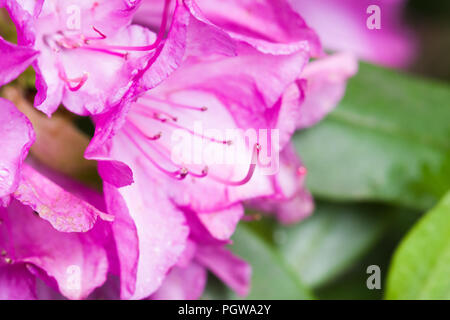 Close up full frame shot of pink rhododendron flowers in bloom. - Stock Photo