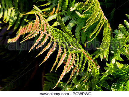 Seeds of fern (Matteuccia struthiopteris) growing on the underside of its fronds - Stock Photo
