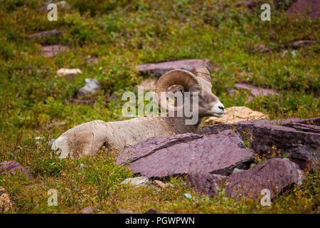 Bighorn sheep, Logan Pass, Glacier National Park, Montana - Stock Photo