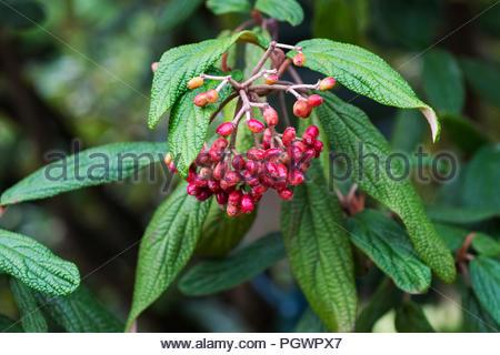 Berries of Viburnum rhytidophyllum, an evergreen shrub commonly called leatherleaf virbunum - Stock Photo